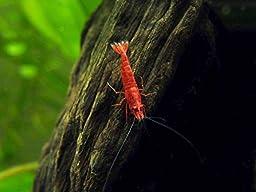 12 Live Sakura Fire Red Cherry Shrimp (Neocaridina davidi) - Breeding Age Young Adults at 1/2 to 1 Inch Long + Java Moss and Aquatic Arts Brand Food Sample