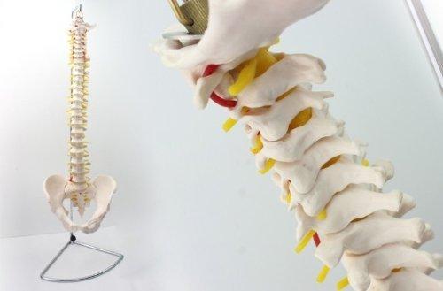 Human 1:1 Size Vertebral Column with Pelvis Joint Simulation Model Medical Anatomy