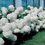Cicitar Garden - Rare Snowball Hydrangea 'Annabelle', Hydrangea paniculata 'Magical Moonlight' Hardy Perennial Flower Seeds
