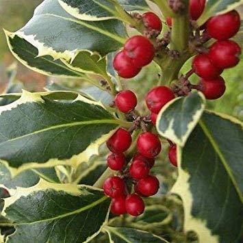 (IDEA HIGH Ilex aquifolium Madam Briot - Variegated Holly - 3 Plants in 9cm Pots)