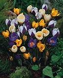 Species Crocus : Mixed Colours : Large Spring Flowering Bulbs - Free UK P & P (100)