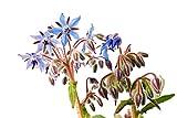 RDR Seeds 100 Borage Flowering Herb Seeds Starflower Borago Officinalis