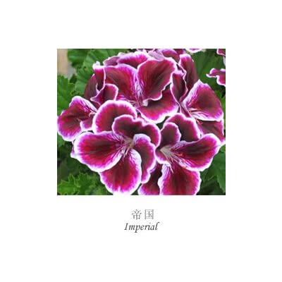LOSS PROMOTION SALE! 100pcs/Lot Fresh Genuine Geranium seeds Pelargonium flower seeds bonsai plants for home Garden Gift : Garden & Outdoor
