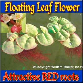 Floating Leaf Flower Live Aqutic Plant 1/2 cup by William Tricker Inc.