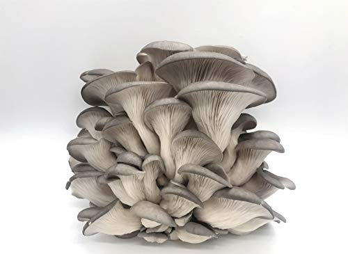 Oyster Plug - 100 Grey Oyster Mushroom Spawn Plugs/Dowels to Inoculate Logs or Stumps to Grow Gourmet and Medicinal Mushrooms - Grown Your Own Mushrooms for Years to Come - Makes a Perfect Gift or a Project