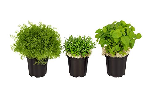 "The Three Company Stress Relieving Live Aromatic 4"" Herb Combo ((Lemon Balm, Rosemary, Lavender), 1 Pint Pot, Aids in Relaxation"