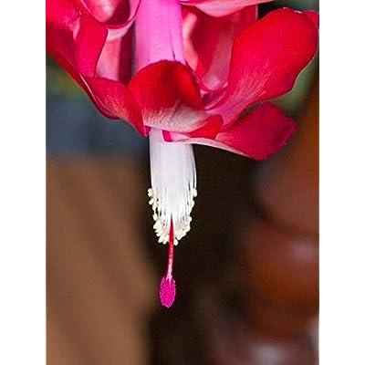 Nature's Enlightenment Live Thanksgiving Christmas Cactus Plant- Plants: Home & Kitchen