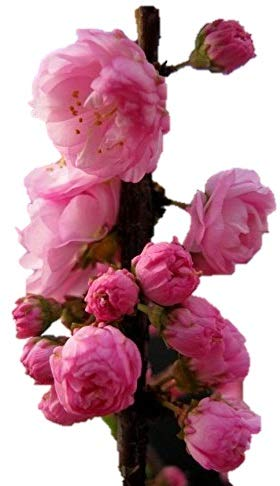 Potted Plant Gallon - Flowering Almond Tree/Shrub - Hardy Established Roots - 1 Trade Gallon Potted Plant by Growers Solution