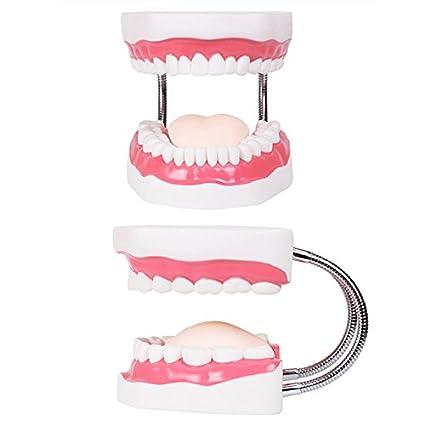 HNBGY Único Modelos dentales Modelo de Diente Enseñanza Niños Cepillado de Dientes Juguetes Dientes Presentaciones dentales