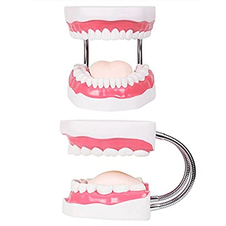 HNBGY Único Modelos dentales Modelo de Diente Enseñanza Niños Cepillado de Dientes Juguetes Dientes Presentaciones dentales Estructuras: Amazon.es: Hogar