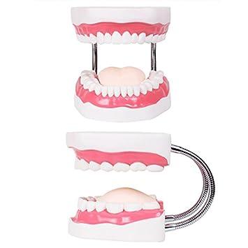 Bearony Modelos dentales Modelo de Diente Enseñanza Niños Cepillado de Dientes Juguetes Dientes Presentaciones dentales Estructuras: Amazon.es: Juguetes y ...