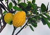 Citron Citrus Medica Etrog Esrog seeds fruit 15 seeds