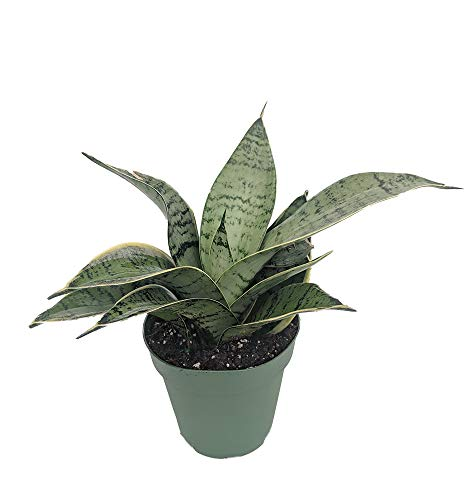 Starlite Snake Plant, Mother-In-Law's Tongue - Sanseveria - 4