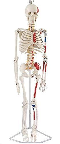 YXB Modelo de Esqueleto Humano Pintado