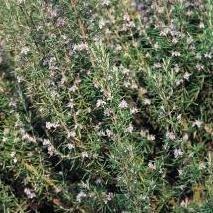 Herb Seeds - Rosemary - 400 Seeds