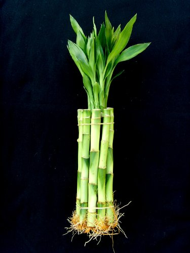 Jm Bamboo 10 Stalks of 8 Inches Straight Lucky Bamboo for Gifts or Fengshui