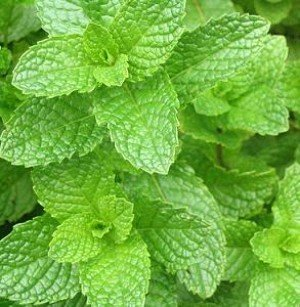 Higarden Mint Seeds Aromatic Plant Flower Seeds Potted Balco