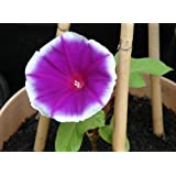50 Mixed Colors JAPANESE MORNING GLORY Imopea Nil Vine Flower Seeds