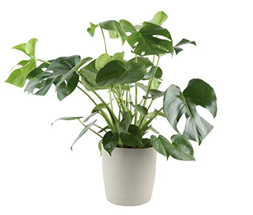 (Costa Farms Split-Leaf Philodendron, Monstera deliciosa, Live Indoor Plant, 2 to 3-Feet Tall, Ships with Décor Planter, Fresh From Our Farm, Excellent Gift or Home Décor )