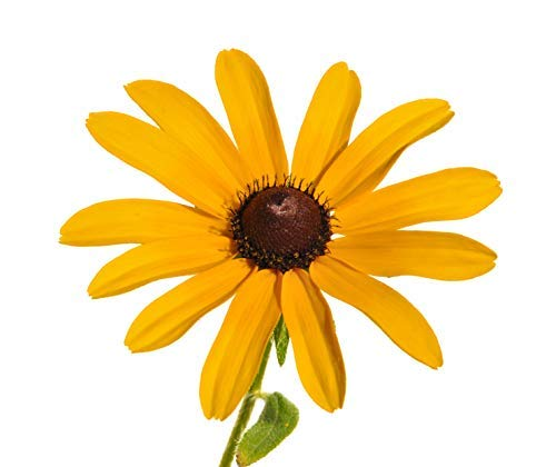 (150 Black Eyed Susan Seeds - Gloriosa Daisy, Rudbeckia Hirta)