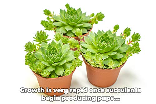 Fractal Succulents (20 Pack) Live Sempervivum Houseleek Succulent Rooted in Pots | Flowering Plant Leaves / Geometric Rosettes by Plants for Pets by Plants for Pets (Image #7)