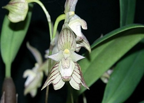 Bulbophyllum ambrosia -Fragrant-Collector item- Must have Orchid Plant!