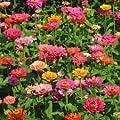 The Dirty Gardener California Giant Zinnia Elegans Flower Mix