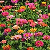 The Dirty Gardener California Giant Zinnia Elegans Flower Mix - .5 Pounds