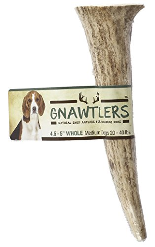 Gnawtlers - Premium Elk Antlers For Dogs, Naturally Shed Elk Antlers, USA Natural Elk Antler Chews, Specially Selected Elks Antlers From The Rocky Mountain & Heartland Regions - 4.5''- 5'' Elk Antler by Pet Parents