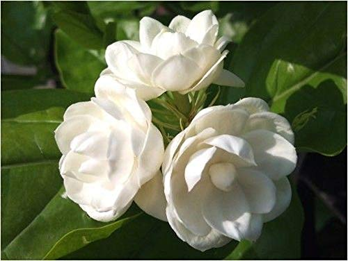 5 Arabian Jasmine Seeds Rare Tropical Fragrant Flower While Perennial Bloom