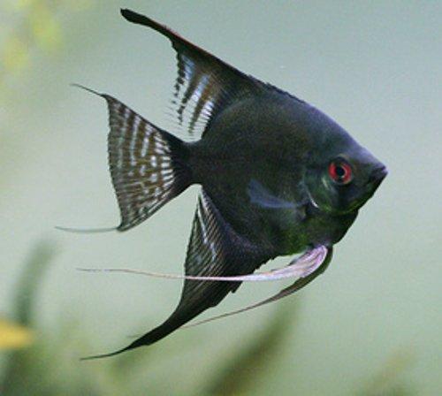 - WorldwideTropicals Live Freshwater Aquarium Fish - Half-Dollar Sized Black Angel Fish - BLACK ANGEL FISH - by Live Tropical Fish - Great For Aquariums - Populate Your Fish Tank!