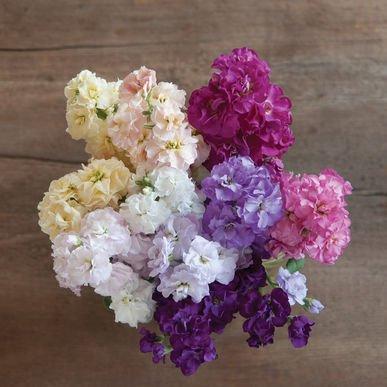 Stock Flower Seeds - David's Garden Seeds Flower Stock Quartet Formula Mix SV1887 (Multi) 50 Open Pollinated Seeds