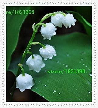 lar/ôme Riche Bell Orchid Graines Mignon et Facile /à lusine Potseed 100 pcs Muguet Graines de Fleurs graines de Fleurs