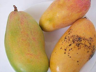 1 Mango Tree Mango Plant 4 Varieties Tropical Mango Mixed Exotic Mango Trees