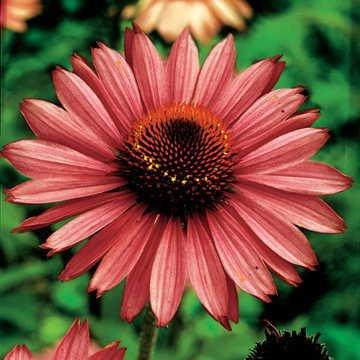 Park Seed Magnus Coneflower Seeds