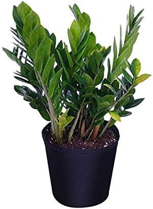Amazon.com : PlantVine Zamioculcas zamiifolia, ZZ Plant, Zanzibar ...
