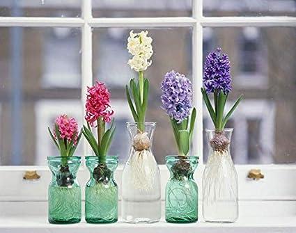 Amazon Com Mix Hyacinth Bulbs 6 Bulb Very Special Flowers