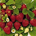 50 Stratified Ruby Red Strawberry Seeds - JDR Seeds