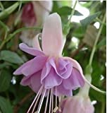 Crazy Big Promotion Fuchsias Lantern Flower Seeds DIY Flower Bonsai Plant Fuchsia Hybrida Voss Seeds 50 Seeds / bag