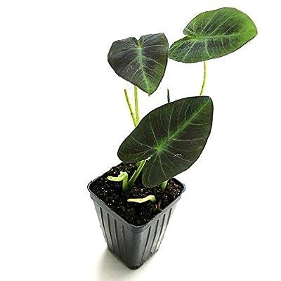 AchmadAnam - Live Plant - Elephant Ear Colocasia Antiquorum Black Beauty 3-Inch Deep Pot Garden : Garden & Outdoor