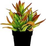 Plantsguru Crassula Campfire
