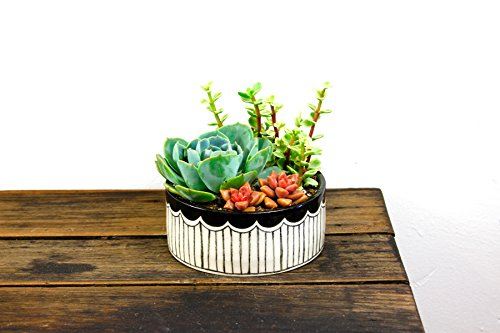 Shop Succulents   Unique Collection of Live Plants, Hand Selected Variety Pack of Mini Succulents in in Black Scalloped Handmade Ceramic Planter