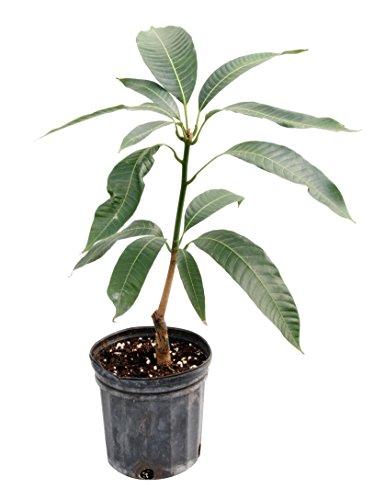 Trunk Flowering (Mango 'Pickering' (Mangifera Indica Hybrid))