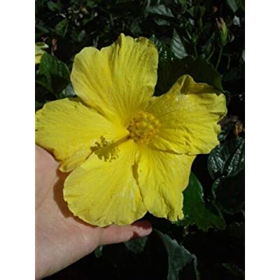 Yellow Tropical Hibiscus Live Plant 5 Inches Tall Starter Size Plant An002 : Garden & Outdoor