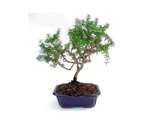 Rosemary Bonsai - Live Plant - Green Gift - Ready To Eat - Kitchen Plant - Chef's Edible Rosemary - Low Maintenance Plant - Cut Flower Alternative - Live Herbs - Fresh Rosemary - Ships fast via 2-Day Air