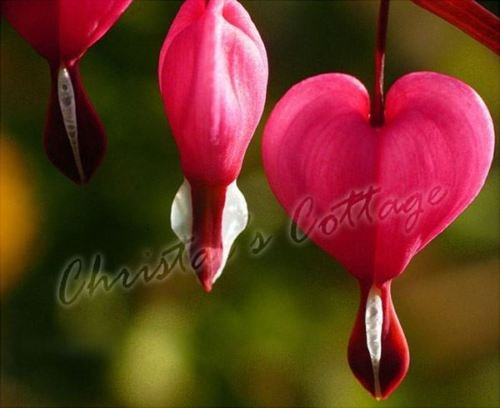 Bleeding Heart Mix Dicentra Spectabilis Spring Garden Perennial Grow Root Plant