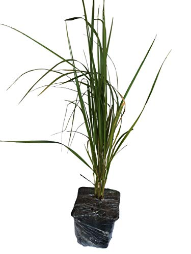 Daylily Nursery 3 Karl Foerster Feather Grass in 4 Inch Containers (3 Pots of Plants)