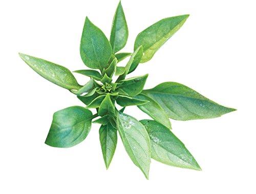 (Burpee Greek Basil Seeds 100 seeds)
