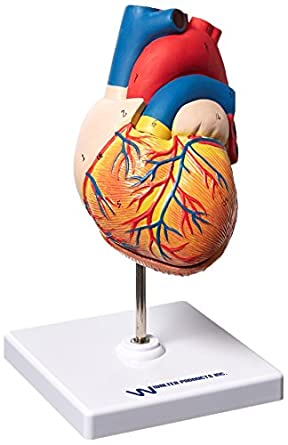 Walter Products B10405AN Human Heart Model Life Size 2 Parts