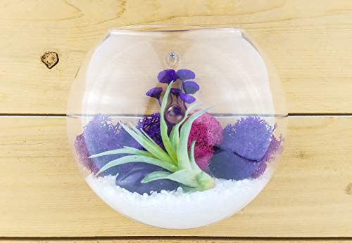Bliss Gardens Air Plant Terrarium Wall Kit with 5